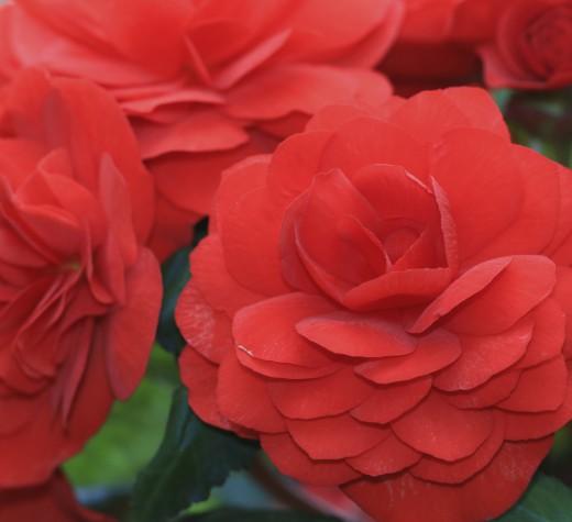 Tuberous begonia flowers