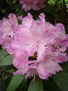 800px-Rhododendron_smirnowii1UME
